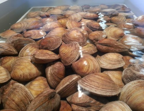 August Anniversary Special: $0.60/lb. Cherrystone Clams